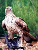 Águila perdicera de Montsant.- Foto: Toni Burau